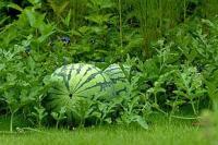 10 watermelon garden