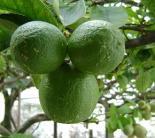 12 limao citrus aurantifolia