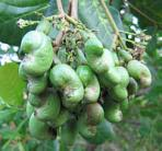 16 young cashew nuts