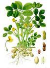 17 arachis hypogaea kohler s medizinal pflanzen 163