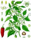18 capsicum annuum kohler s medizinal pflanzen 027
