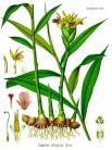 19 zingiber officinale kohler s medizinal pflanzen 146