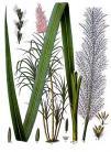 20 saccharum officinarum kohler s medizinal pflanzen 125
