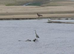 420px great blue heron and immature bald eagle on the platte river