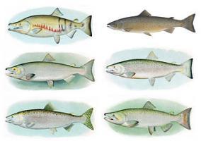 Salmon male