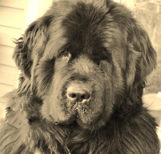 Seaman chien de lewis