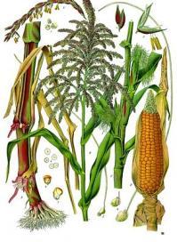 Zea mays kohler s medizinal pflanzen 283
